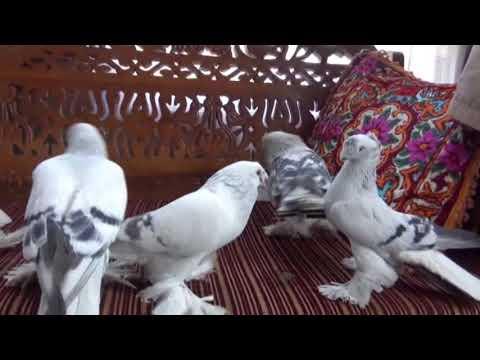 Tarihi Kentin Semalarını Güvercinler Renklendirecek Iha