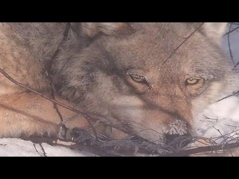 Волки Дардана