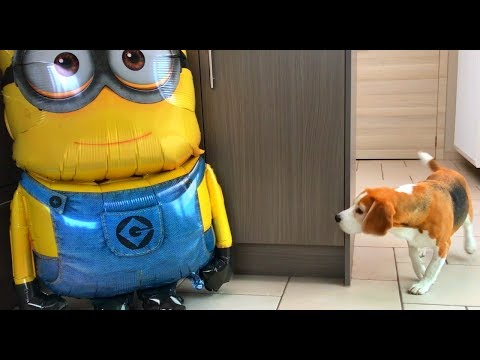 DOGS FUNNY REACTION TO GIANT MINION BALLOON