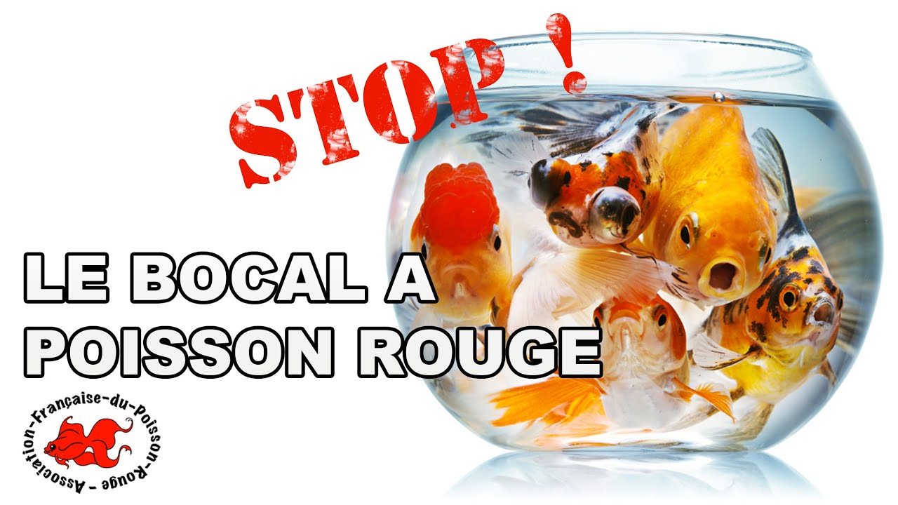 Le bocal poisson rouge youtube for Aquarium 20 litres poisson rouge