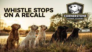 Whistle Stop On A Recall  Labrador Retriever Training