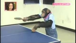 Шимпанзе учат играть в настольный теннис