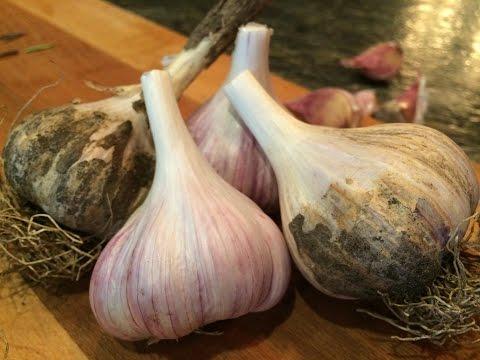 Ontario Garlic| Andrea Buckett & Jeffrey Marshall