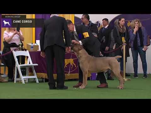 Cane Corso | Breed Judging 2020