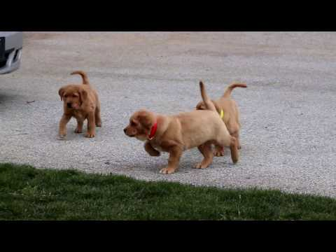 Golden Lab Puppies For Sale
