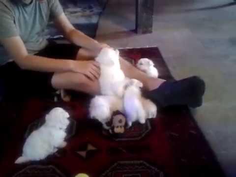 Cuccioli Maltese Mini Toy E Micro Toy Youtube