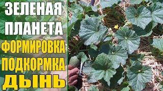 Выращивание дынь / Как формировать когда подкармливать