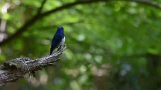 オオルリの囀り (Blue-and-white flycatcher Display song) thumbnail