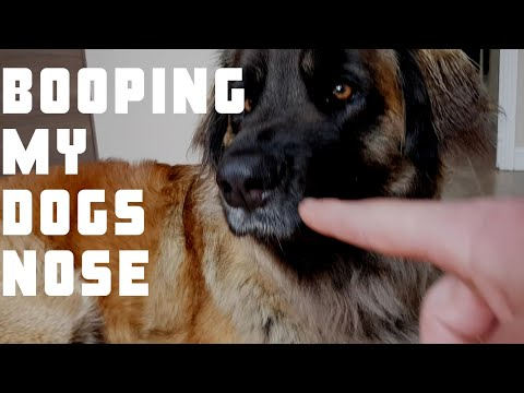 Booping my dog too many times #funny #dog #animal #leonberger