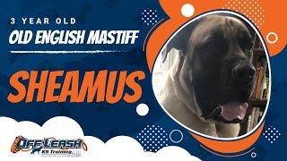 3 Year Old English Mastiff, Sheamus | Large Breed Training | NY Dog Training