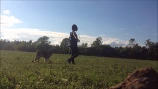 German Shepherd Bolan, Human Aggression Rehab - First Meeting And Ecollar Intro A Week Into Training