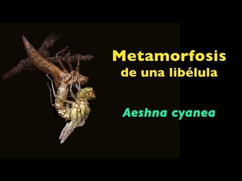 Metamorfosis de una libélula  Aeshna cyanea