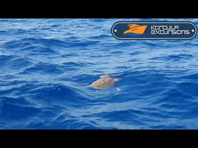 Korcula Excursions - Turtle in the sea - Korcula Boat Tours