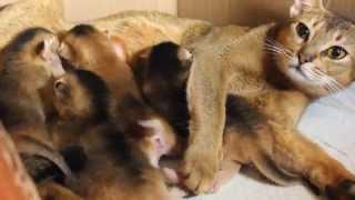Абиссинские котята с кошкой 7-й день после рождения 2.11.2015 Брянск