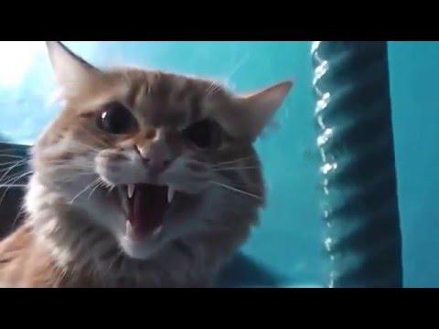 Злой рыжий кот шипит