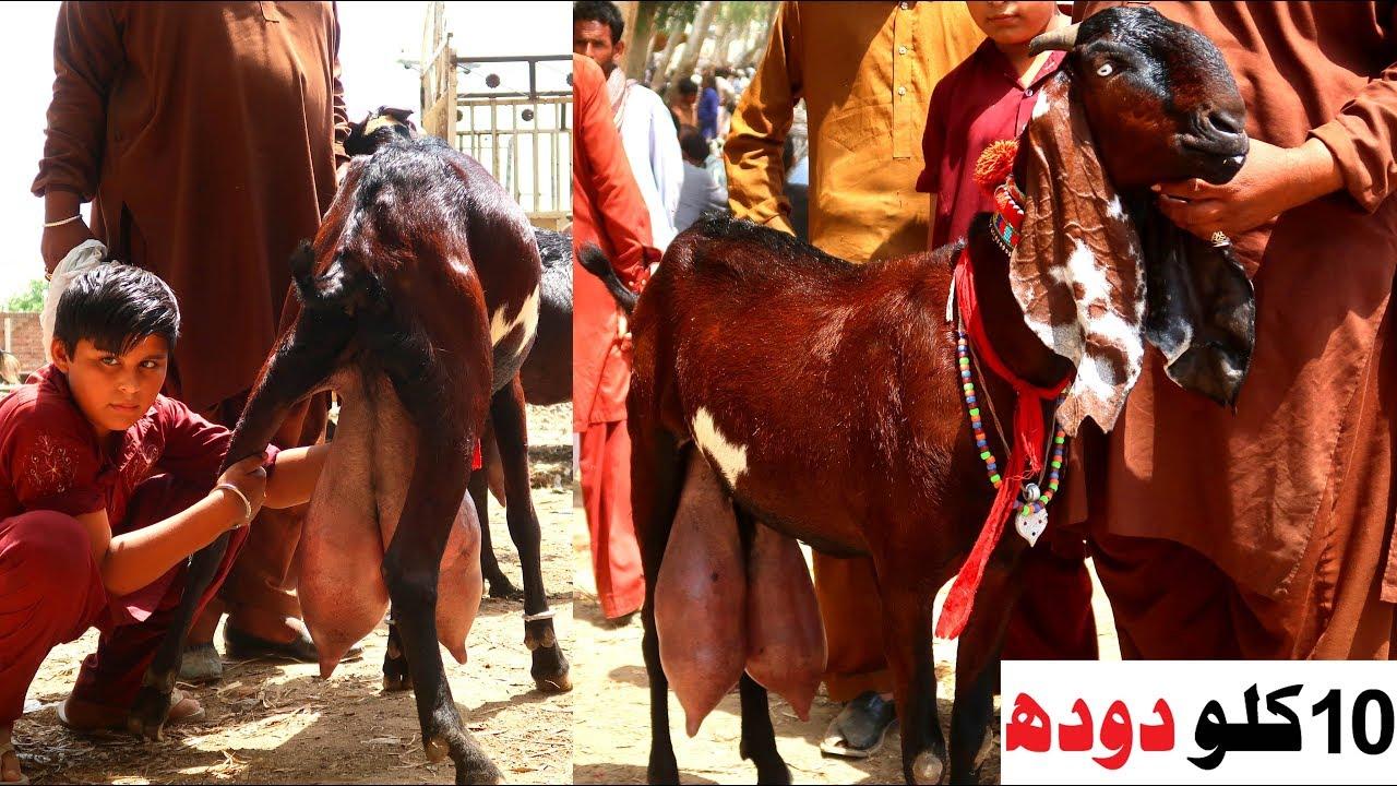 Supreme Quality Nagri Goat With 10 Kg Milk Daily Sahiwal Bakra Mandi 2019