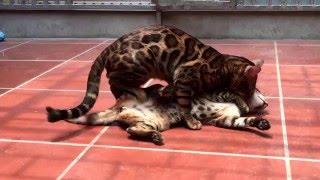 Mèo Bengal đẹp tại trại Lazedo Cattery