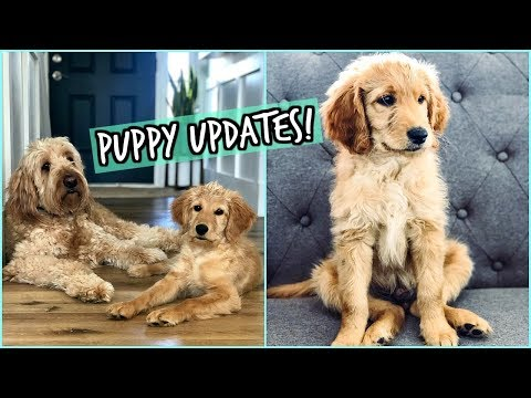 NEW PUPPY UPDATES! ALL ABOUT OUR NEW GOLDENDOODLE!