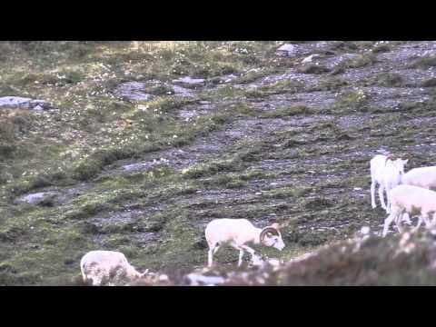 NWT Dall Sheep Double HD