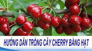 hướng dẫn trồng cây cherry bằng hạt