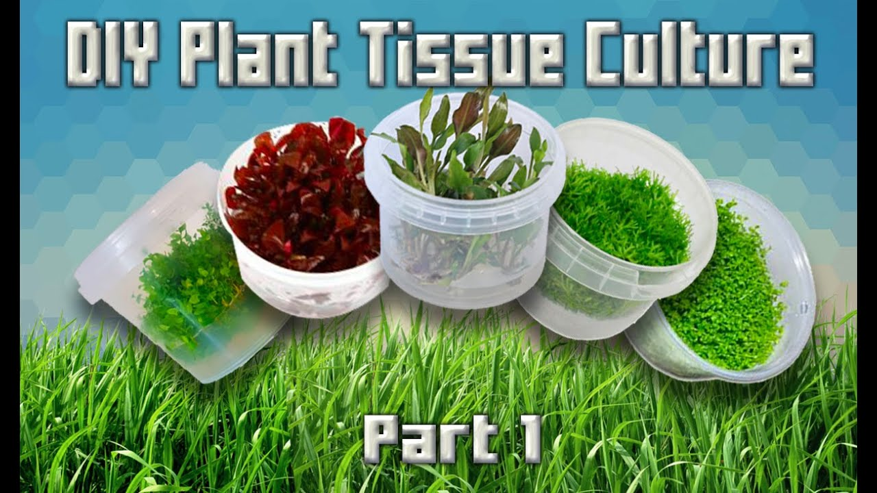 Tutorial - DIY Aquarium Plant Tissue Cultures (Part 1)