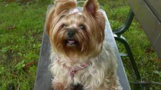 Yorkshire Terrier Cindy