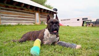 Meet Busgo, The 3-Legged Boxer | Dr. Jeff: Rocky Mountain Vet