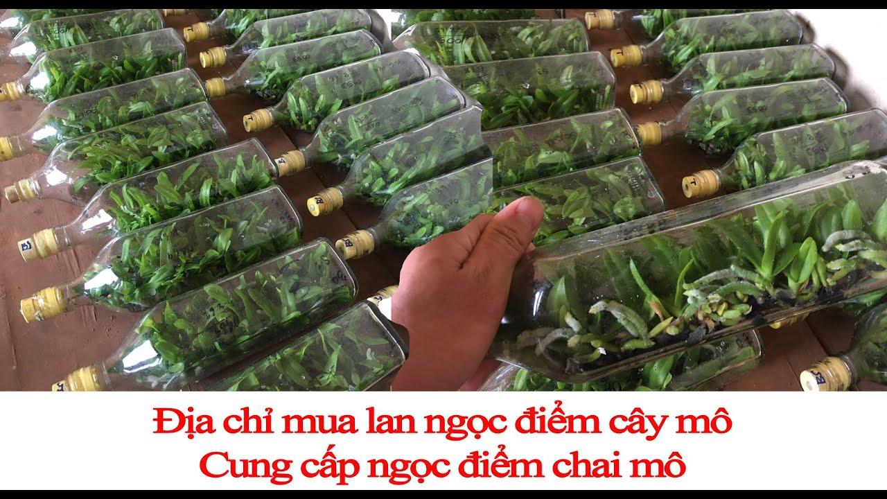 Địa chỉ mua lan ngọc điểm cấy mô – Vườn lan Thành Nguyễn
