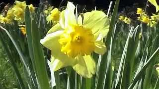 The Daffodils  William Wordsworth Janette Miller HD version Thumbnail