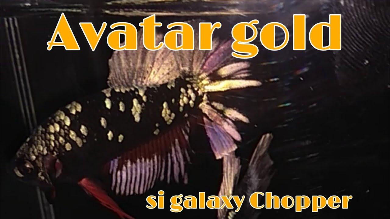 Virall Ikan Cupang Avatar Gold Chopper Youtube