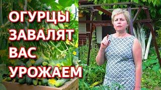 Огурцы прут как бешеные! Как подкормить огурцы. Как бороться с болезнями и вредителями на огурцах.