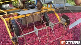 How cranberries grow and are harvested at Ocean Spray