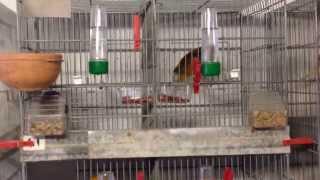 Yorkshire Canaries Bird Room 2014 ( starting off breeding season )
