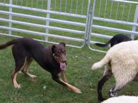 A young kelpie learns to back sheep in the race - Lyndhurst Shadow