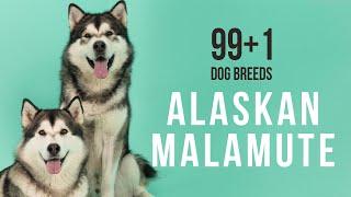 Alaskan Malamute / 99+1 Dog Breeds