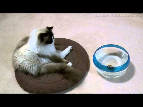 Ragdoll Cat vs. Zuru Robo Turtle Toy - PoathTV Funny Cat Videos - PoathCats