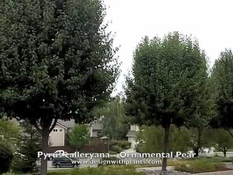 Pyrus calleryana - Ornamental Pear
