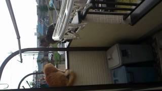 猫の喧嘩の決着です。 茶色の猫が 私の猫です。(´・ω・`)