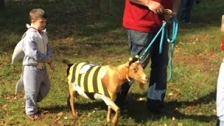 Raw: Goats Get Into the Halloween Spirit in CT
