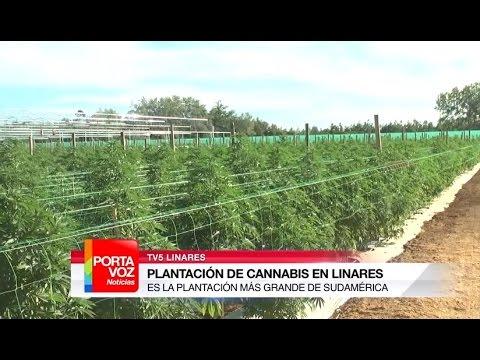 La plantación más grande de cannabis en Sudamérica está en Linares