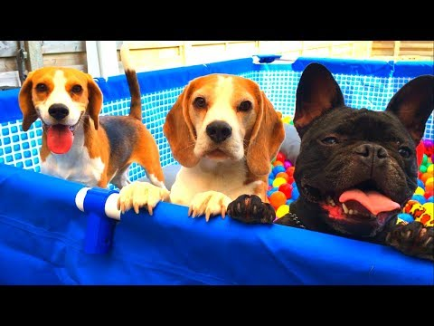 Funny Dogs Turned Their Pool into a BALL PIT : Cute Beagles and French Bulldog