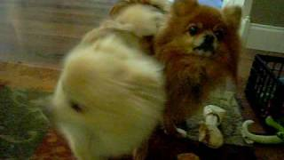 Pomeranians Maximus And His 2 Puppies Toulouse And Deuce