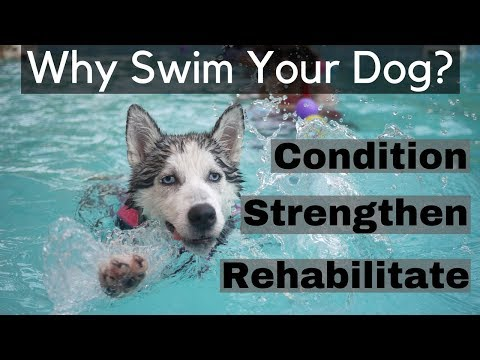 How Swimming Can Rehabilitate, Condition and Strengthen Your Dog 12 Benefits of Swimming