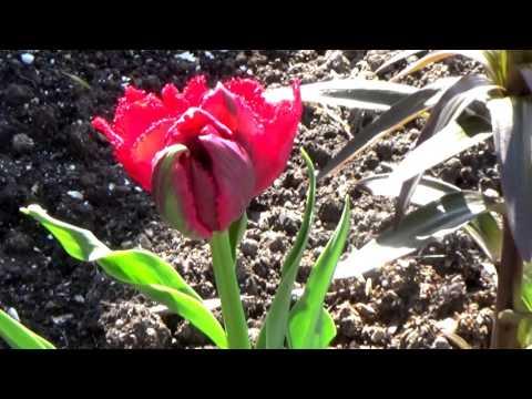 Тюльпаны в моем саду - Часть 2 (Блек Джевел, триумф Стронг Голд, махровый поздний Оранж Принцесс)