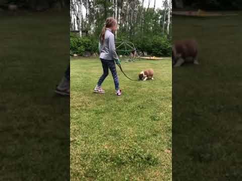 Australian Shepherd Puppie