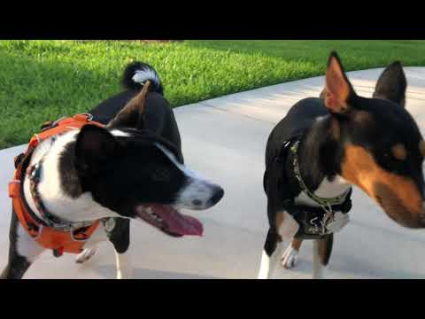 Basenji friends at the dog park