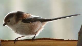 Schwanzmeisen im Winter an der Futterstation - Vogelstimmen Gesang Meisen Tits