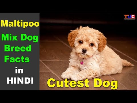 Maltipoo Dog Facts in Hindi : Cutest Dog : The Ultimate Channel