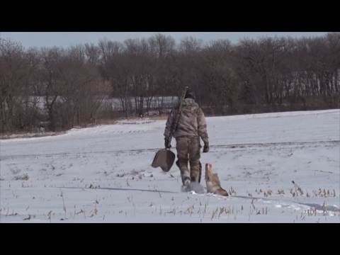 Tips For Calling A Coyote Across An Open Field And Creek Bottom!
