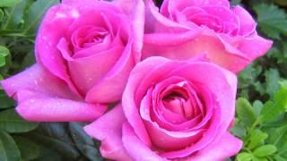 Bunga mawar Mp3